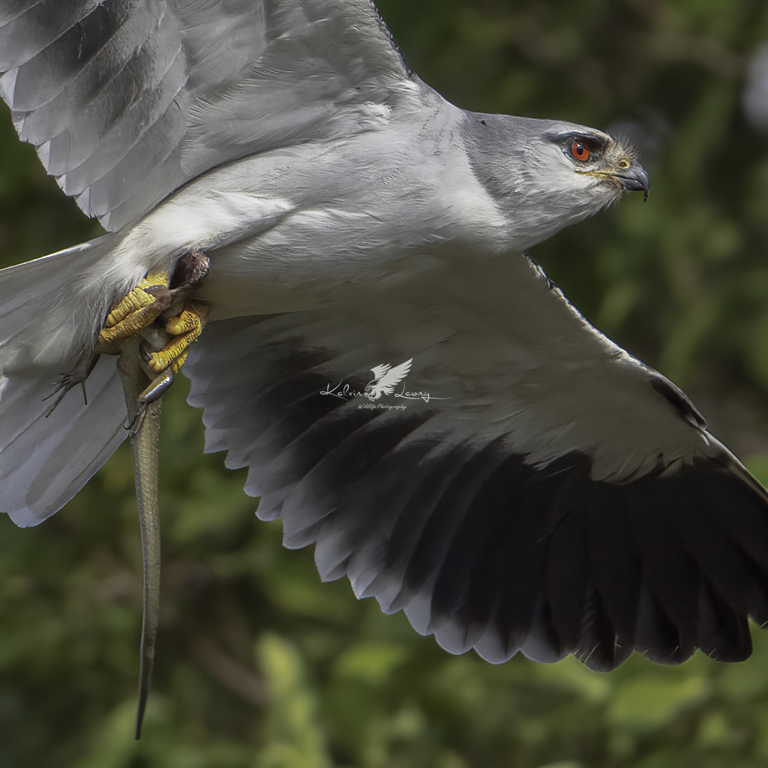 """""""Black-winged kite with a half eaten skink"""" stock image"""