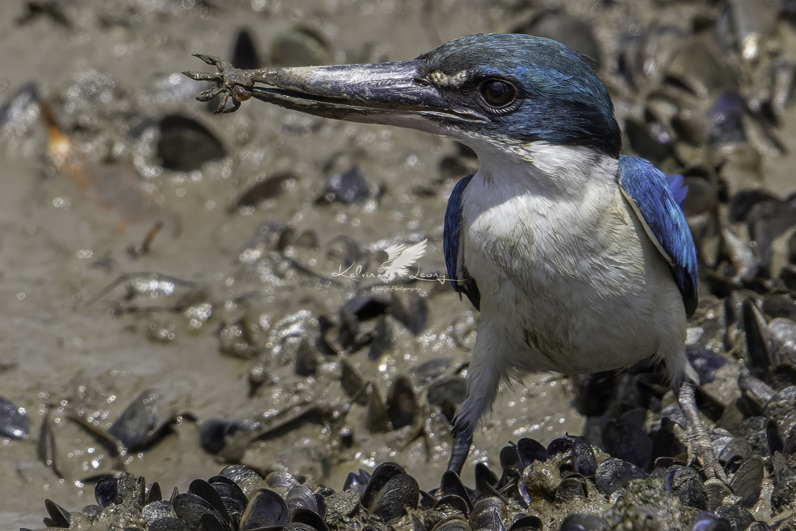 """""""Collared kingfisher feeding on a crab"""" stock image"""