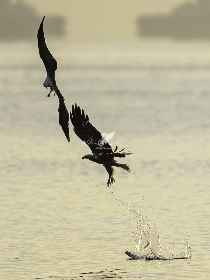"""""""Adult white bellied sea eagle training juvenile how to fish"""" stock image"""