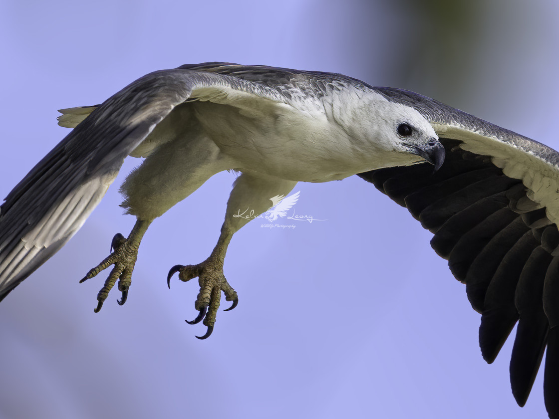 """""""White bellied sea eagle preparing for its morning dive"""" stock image"""