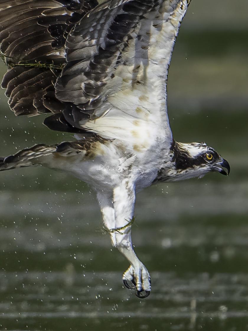 """Diving Osprey"" stock image"