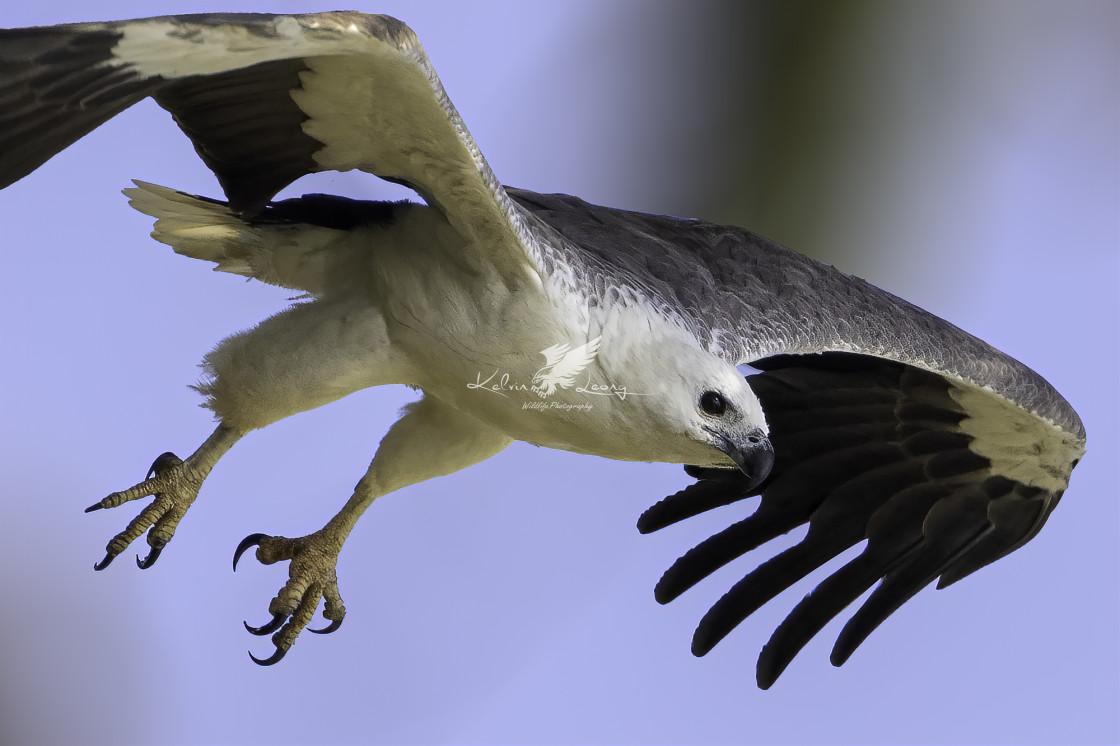 """White bellied sea eagle dive"" stock image"