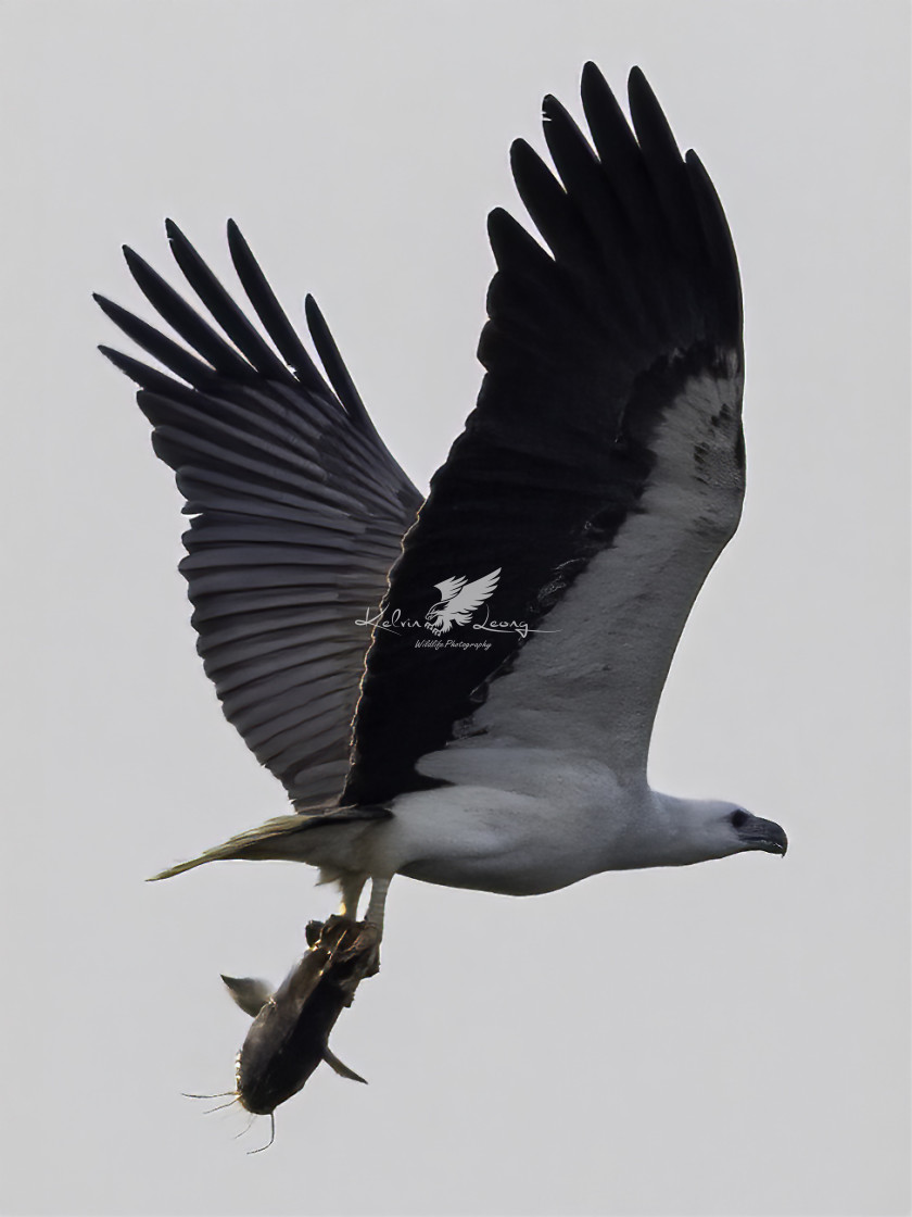 """""""White bellied sea eagle with a big cat fish"""" stock image"""