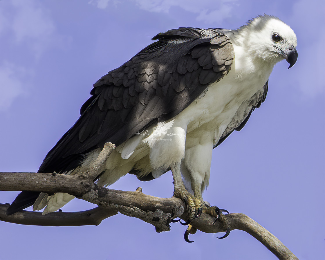 """""""White bellied sea eagle in hunting mode"""" stock image"""