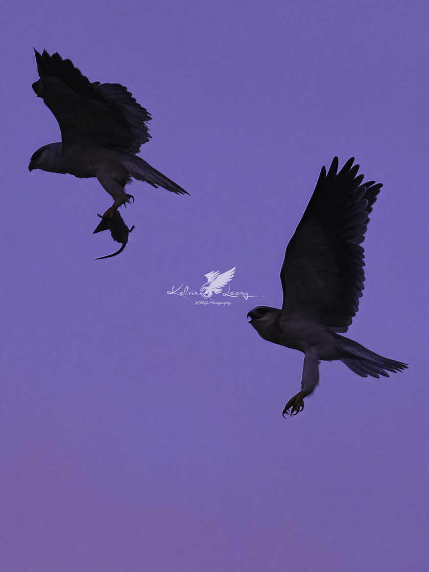 """""""Silhouette of two black wing kites"""" stock image"""