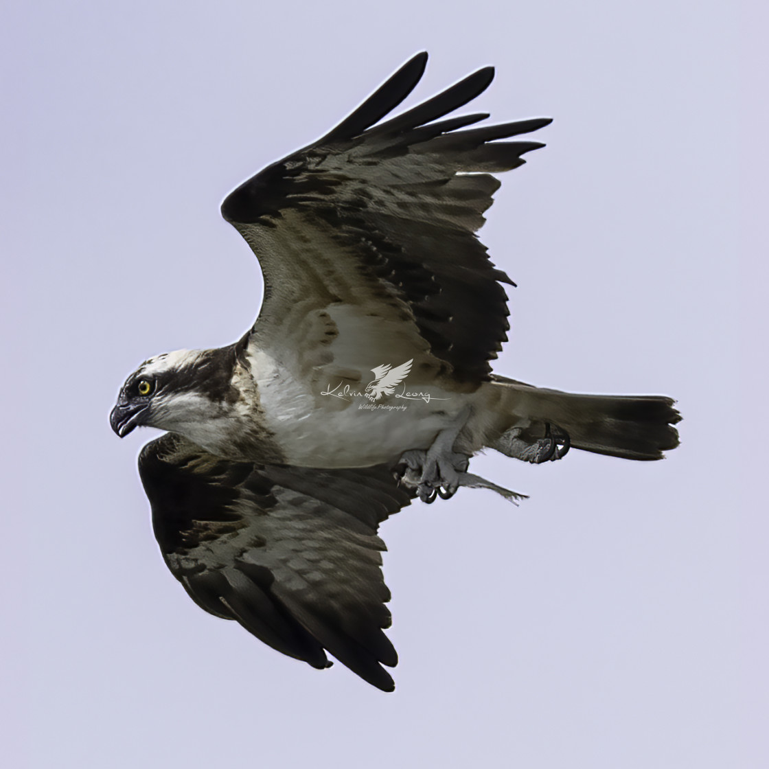 """""""Osprey with a small fish"""" stock image"""