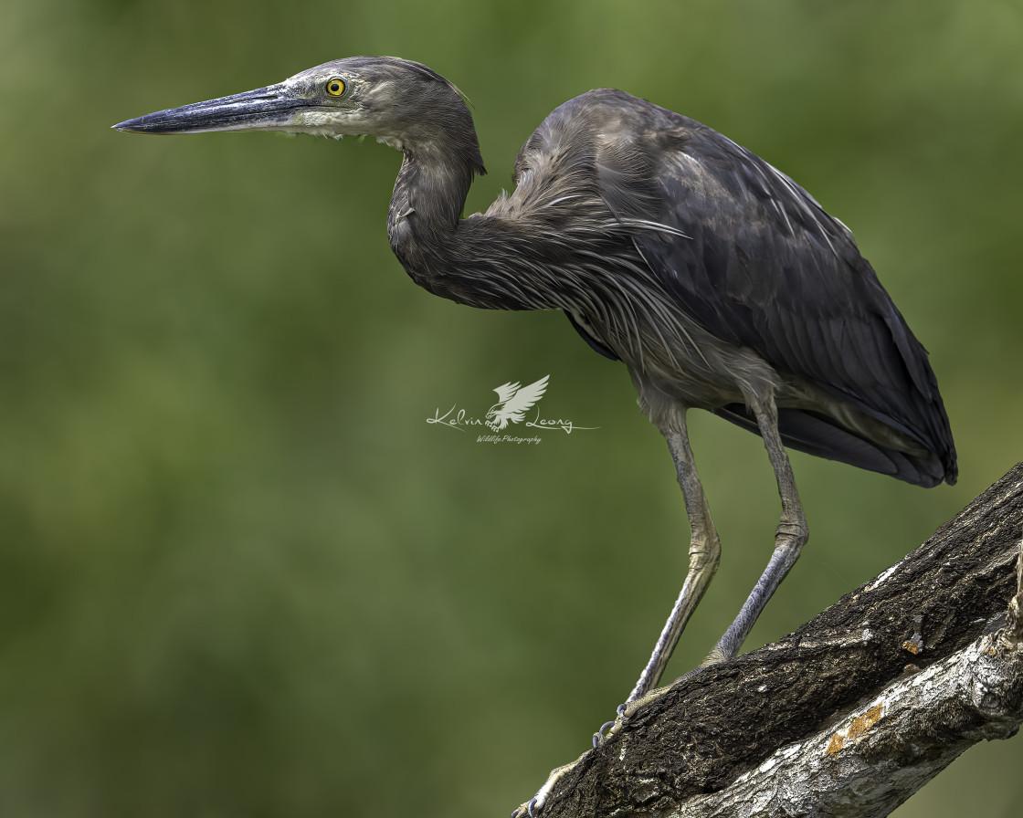 """Great billed heron"" stock image"