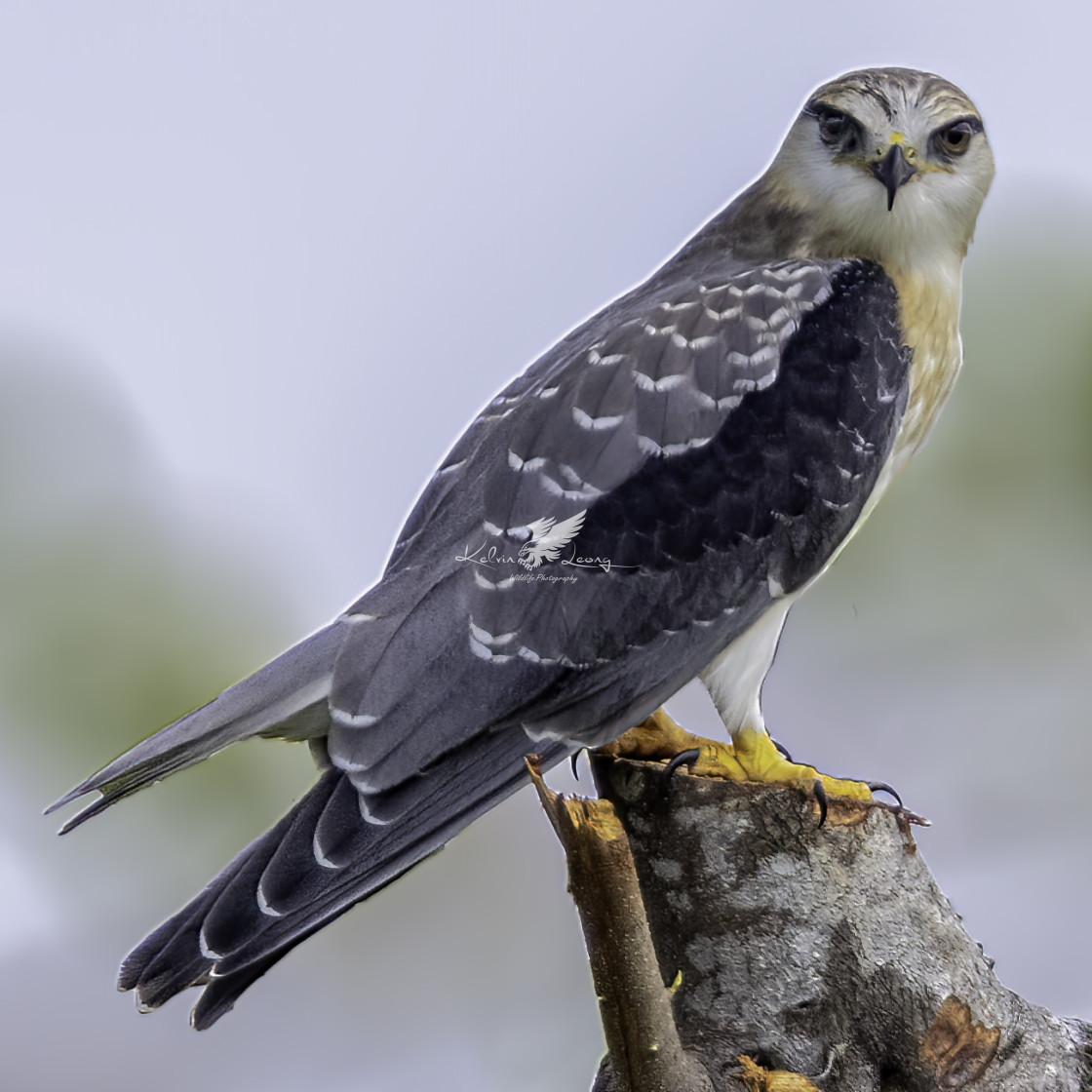 """Juvenile black winged kite"" stock image"