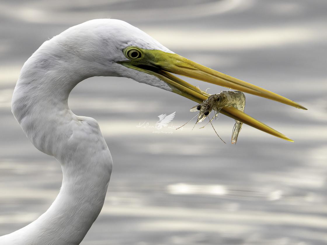 """Egret caught a live prawn"" stock image"