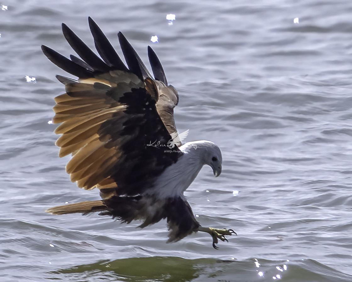 """""""Brahminy kite dive"""" stock image"""
