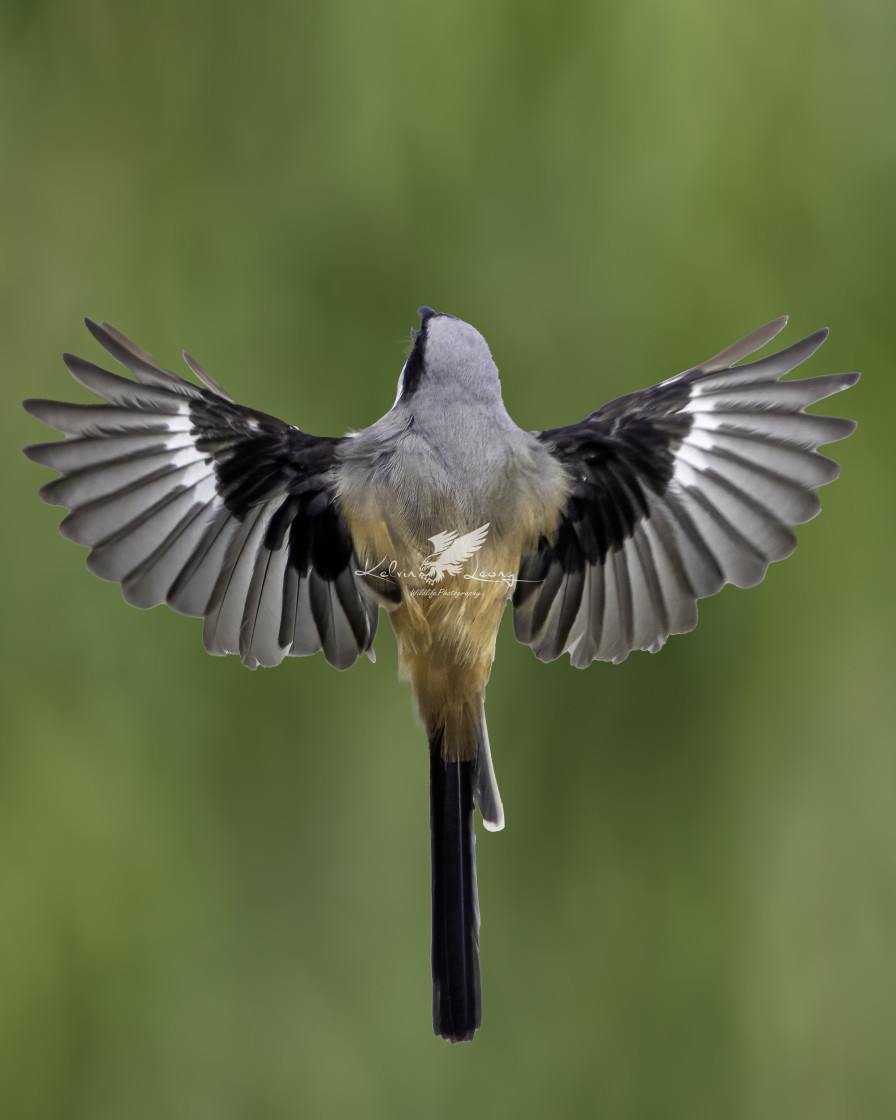 """""""Back view of the long tailed shrike"""" stock image"""