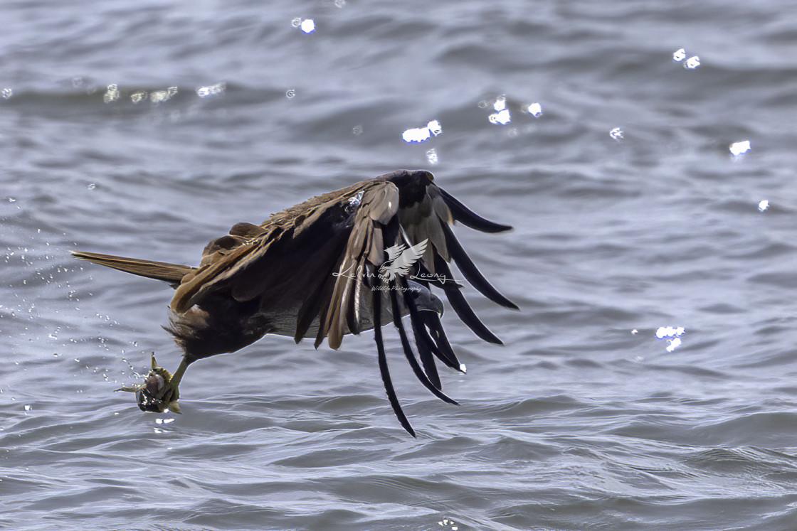 """""""Brahminy kite diving"""" stock image"""