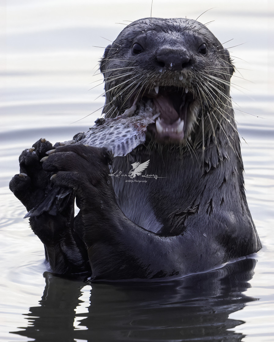 """""""Otter feeding on the Spotted Scat"""" stock image"""
