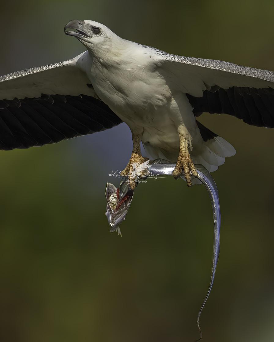 """White bellied sea eagle caught a ribbon fish"" stock image"