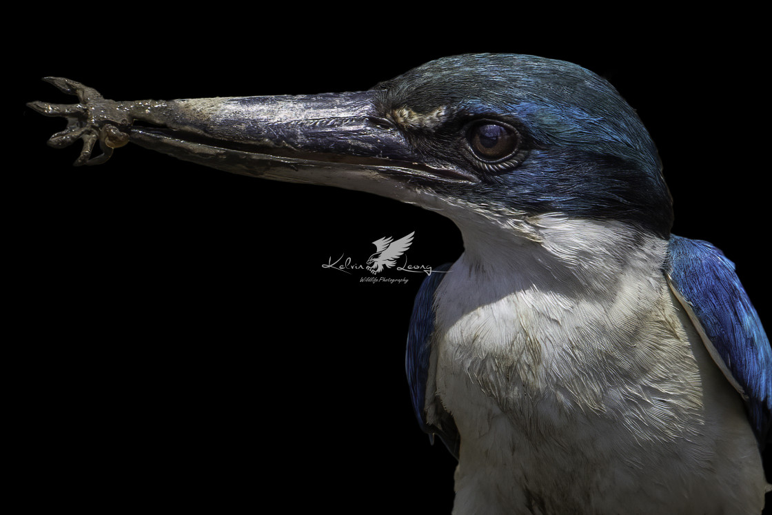 """""""Collared kingfisher with a small mud crab"""" stock image"""