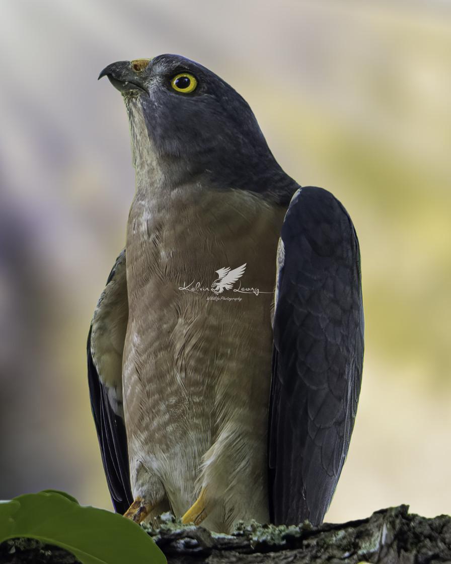 """Chonese sparrowhawk"" stock image"