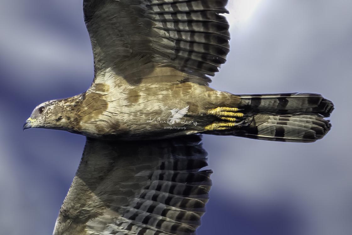 """Oriental honey buzzard"" stock image"
