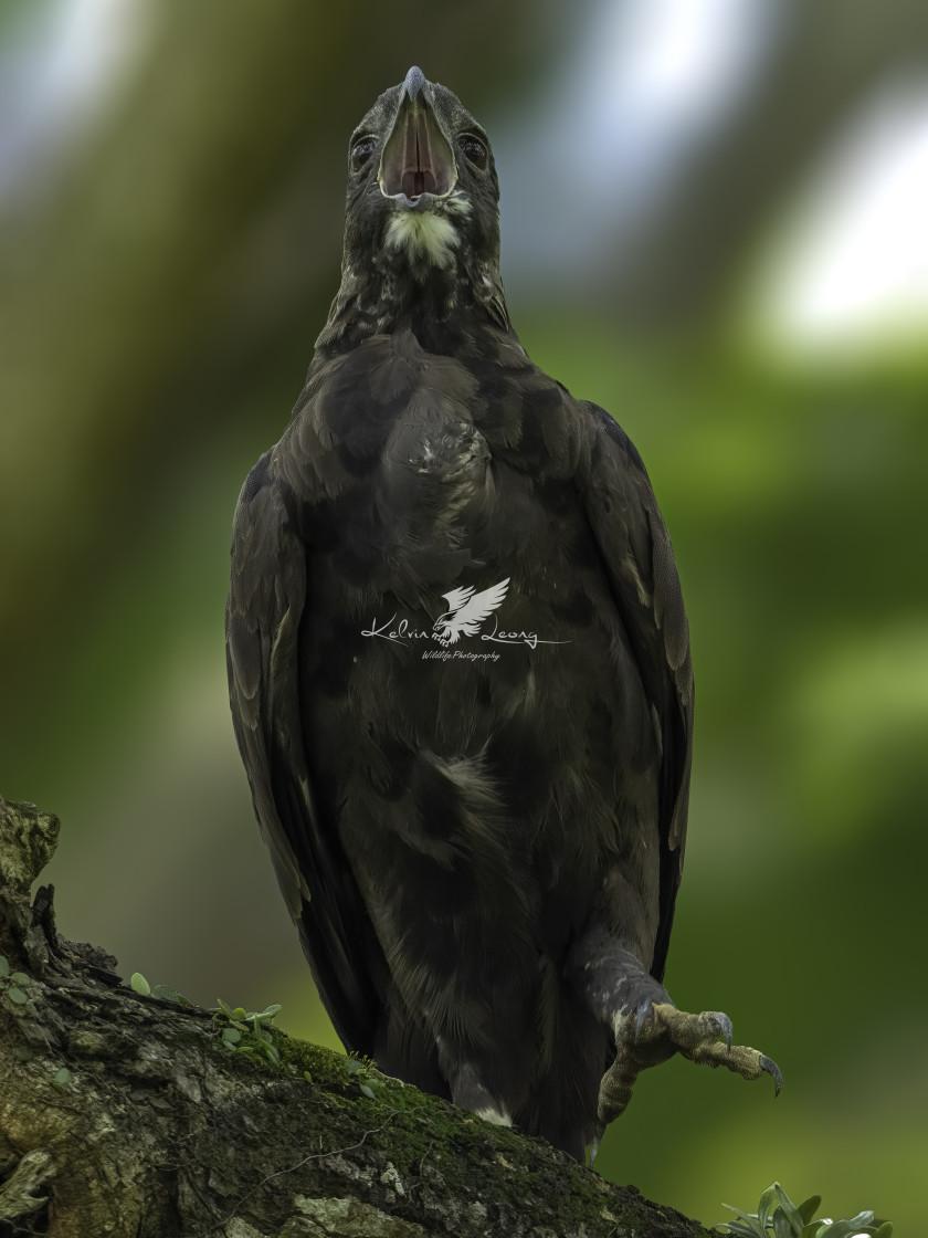 """Changeable hawk eagle dark morph"" stock image"
