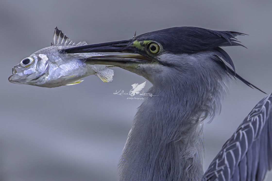 """""""Striated heron with a fish in beak"""" stock image"""