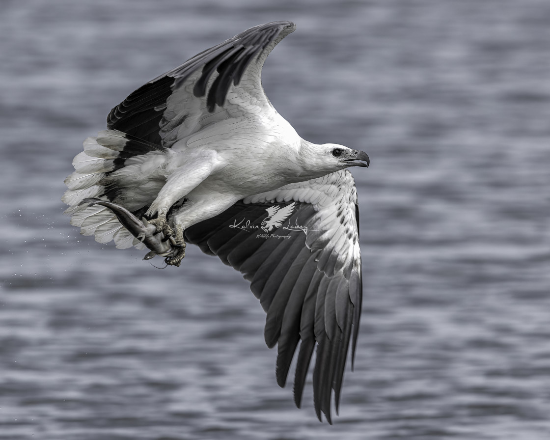 """""""White bellied sea eagle with a fish"""" stock image"""