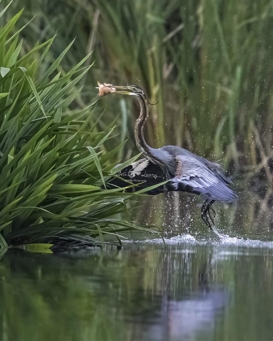 """Purple heron caught an orangy fish"" stock image"