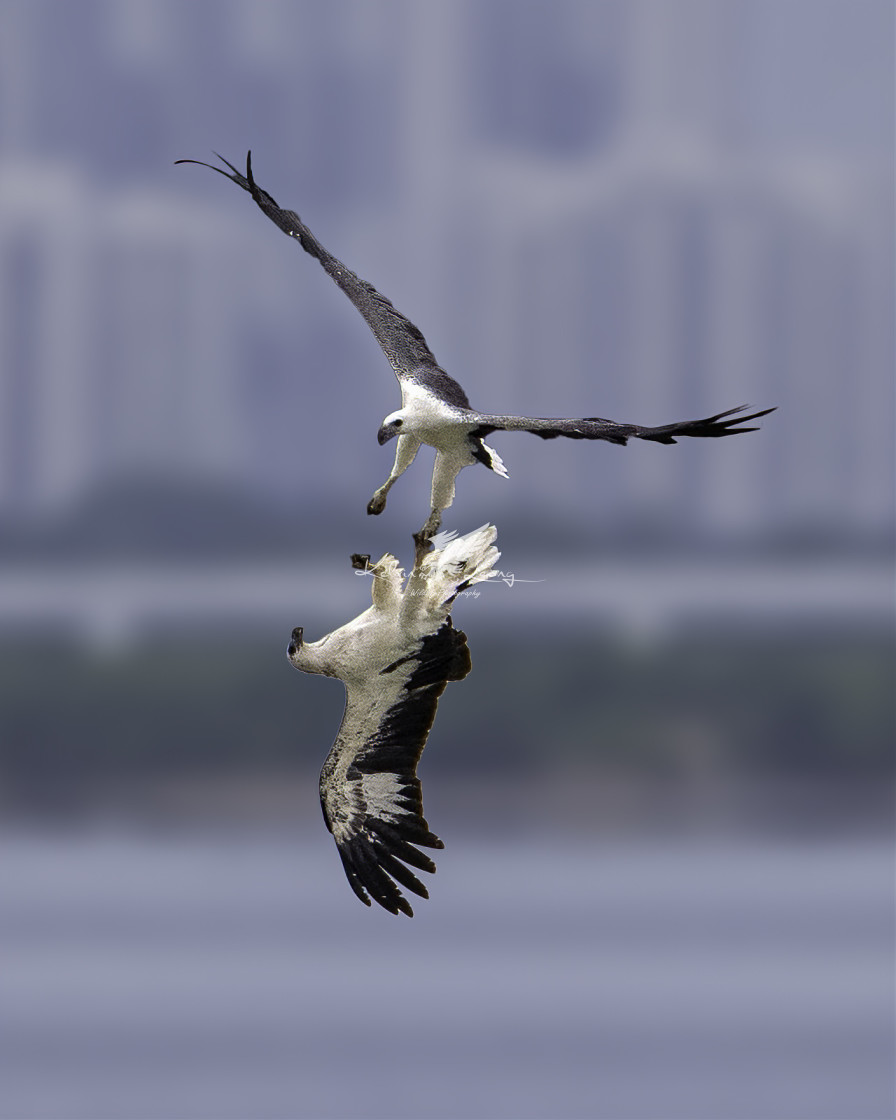 """""""White bellied sea eagles locking claws in mid air"""" stock image"""