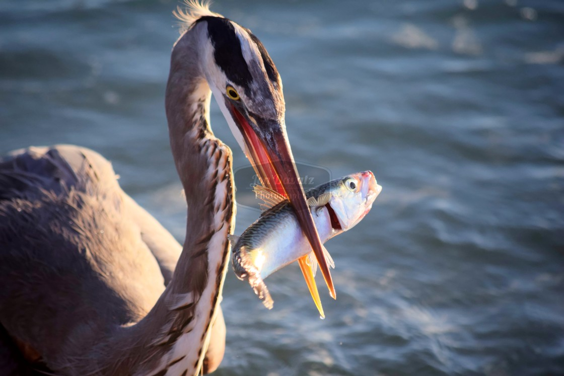 """Great Blue Heron Lunch"" stock image"