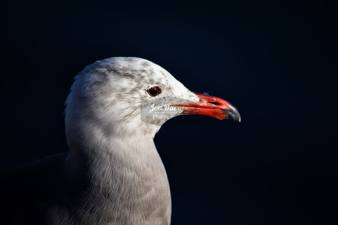 """Seagull Portrait"" stock image"