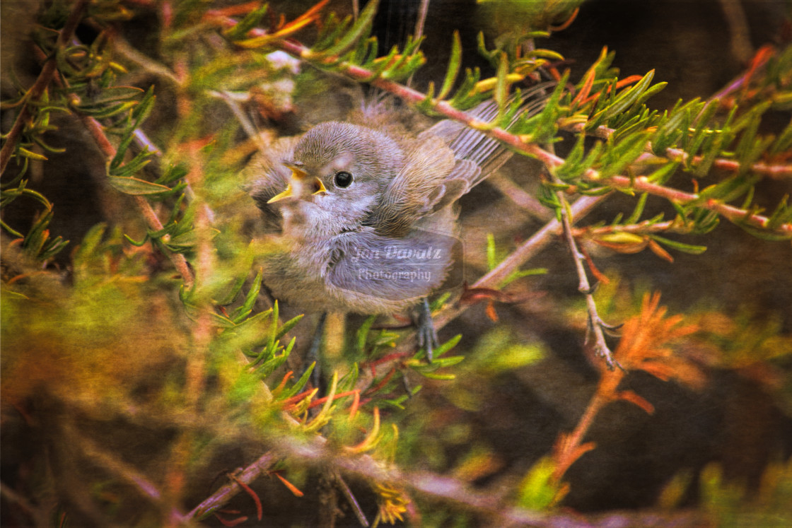 """Gnatcatcher"" stock image"