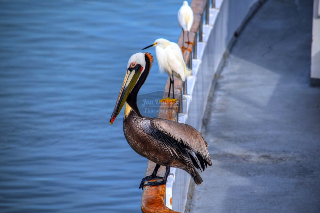 """Pelican and Egrets"" stock image"