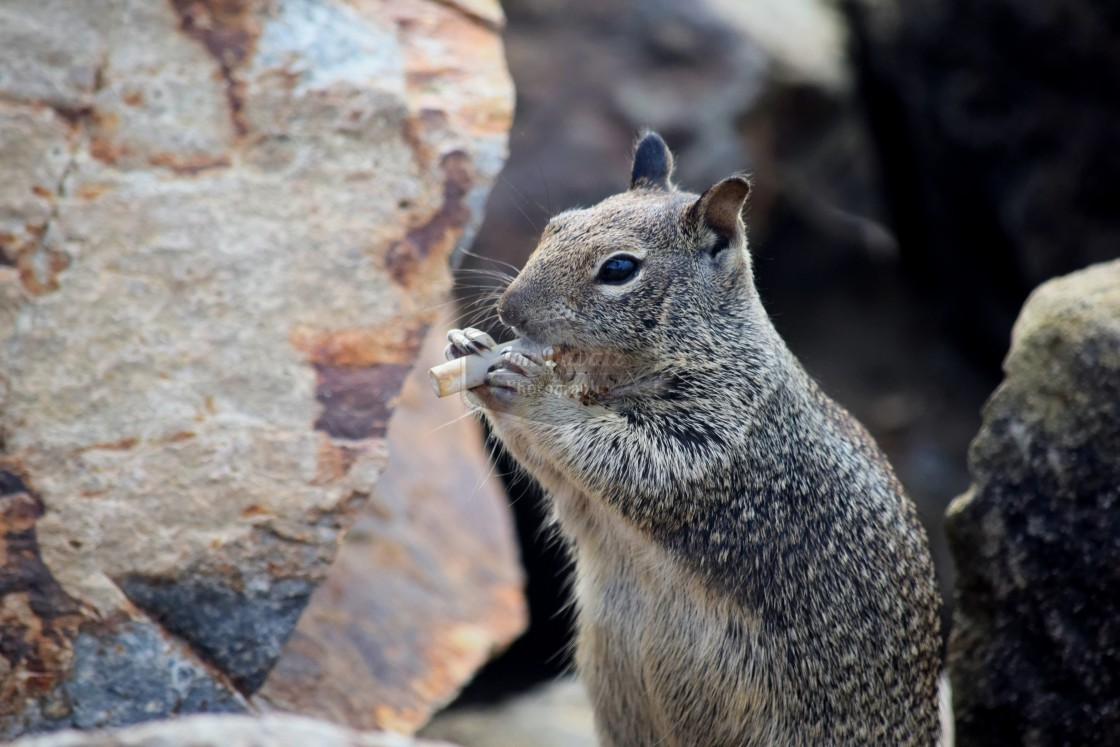 """Smoking Squirrel"" stock image"