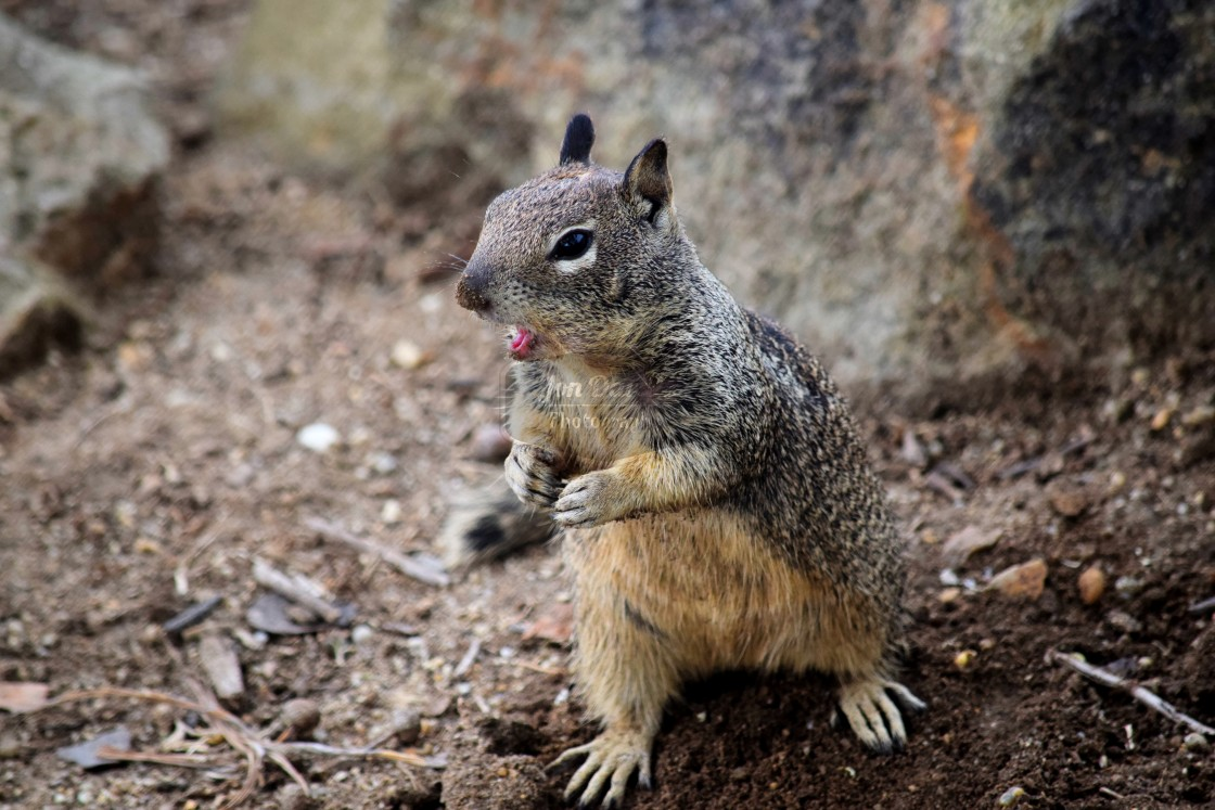 """Talking Squirrel"" stock image"