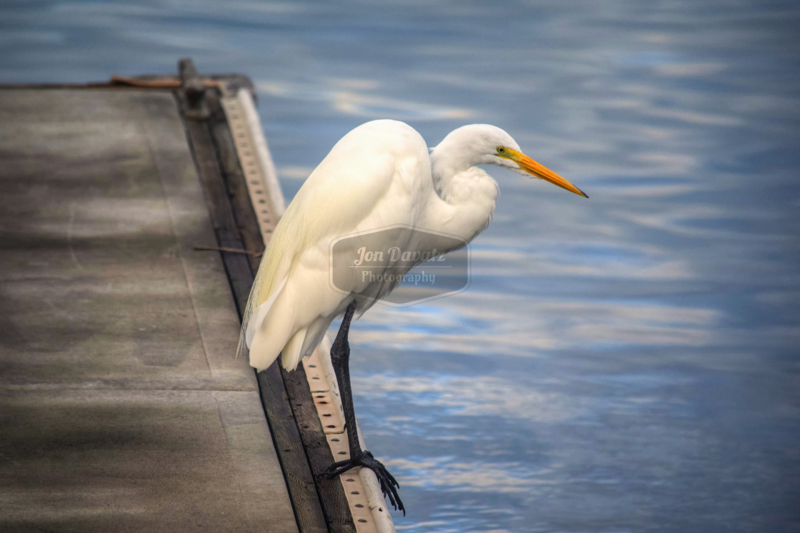 """Great White Heron Series"" stock image"