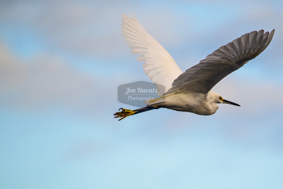 """Snowy Egret in flight"" stock image"