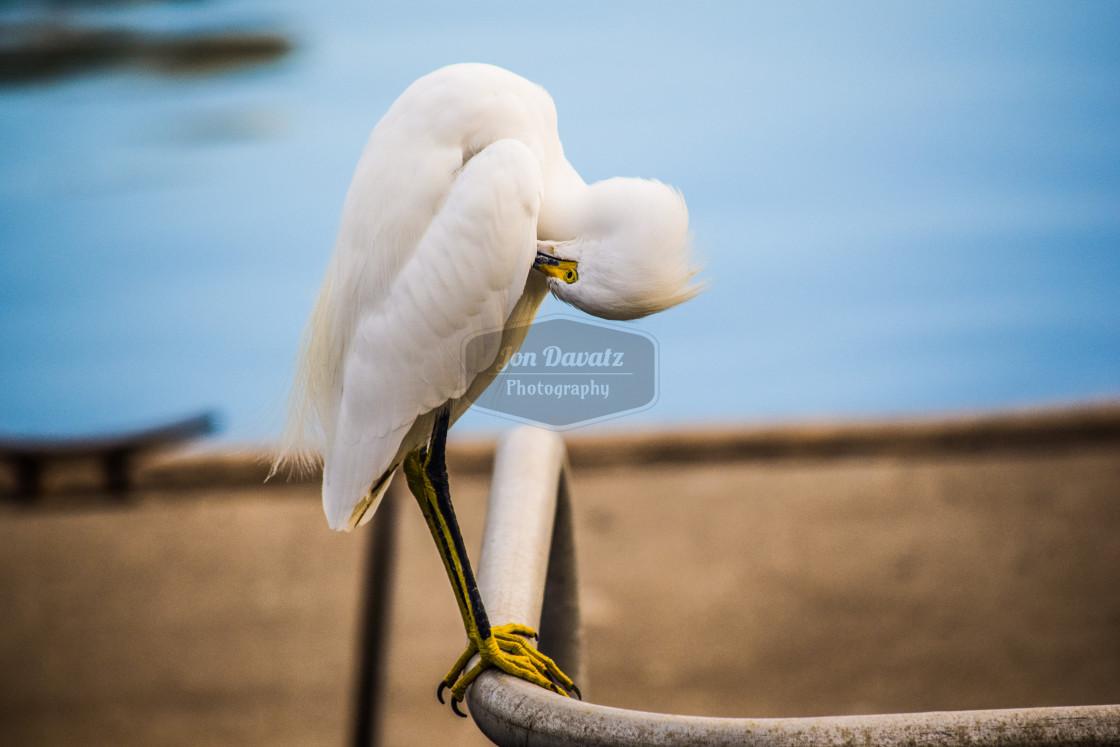"""""""Snowy Egret"""" stock image"""