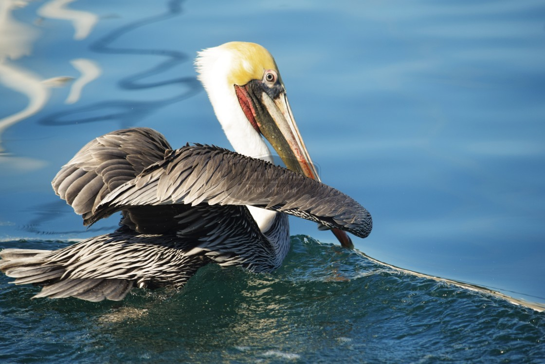 """Pelican on a wave"" stock image"