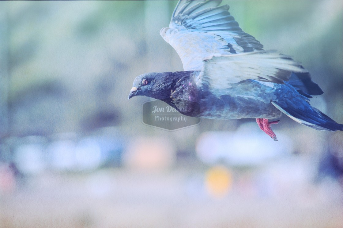 """Dreamy Pigeon"" stock image"