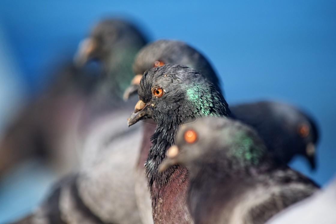 """Pigeon Lineup"" stock image"