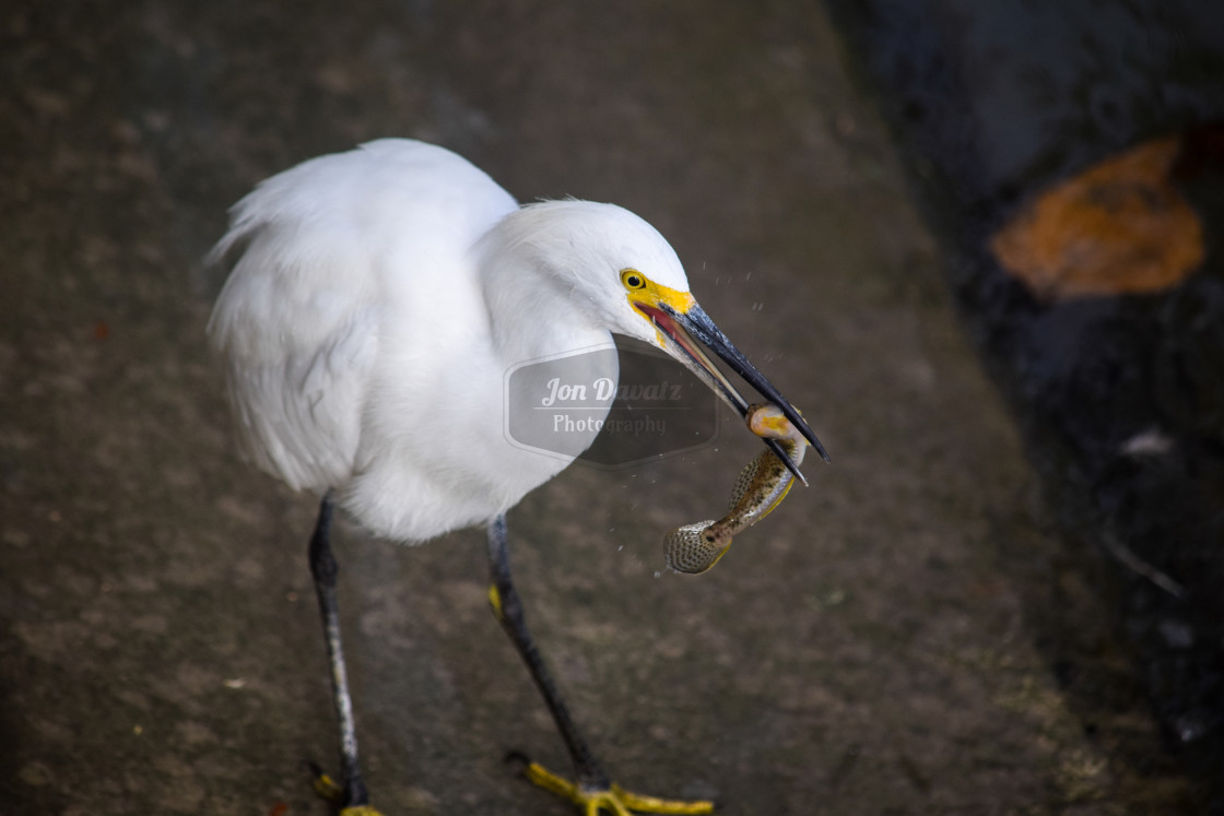 """Snowy Egret Eating"" stock image"