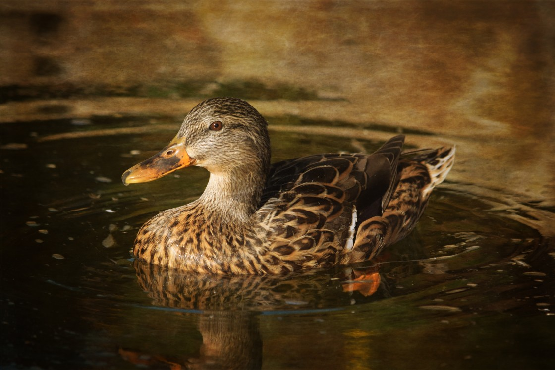 """Duck Portrait"" stock image"