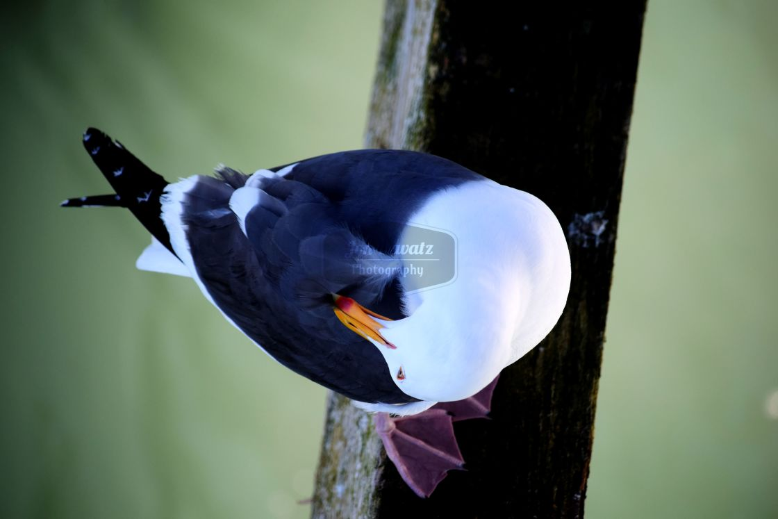 """Seagull from Above"" stock image"