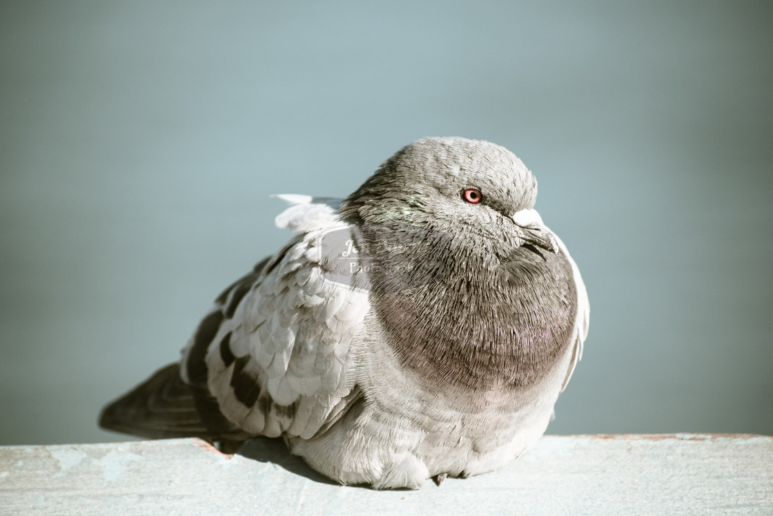 """Relaxing Pigeon"" stock image"