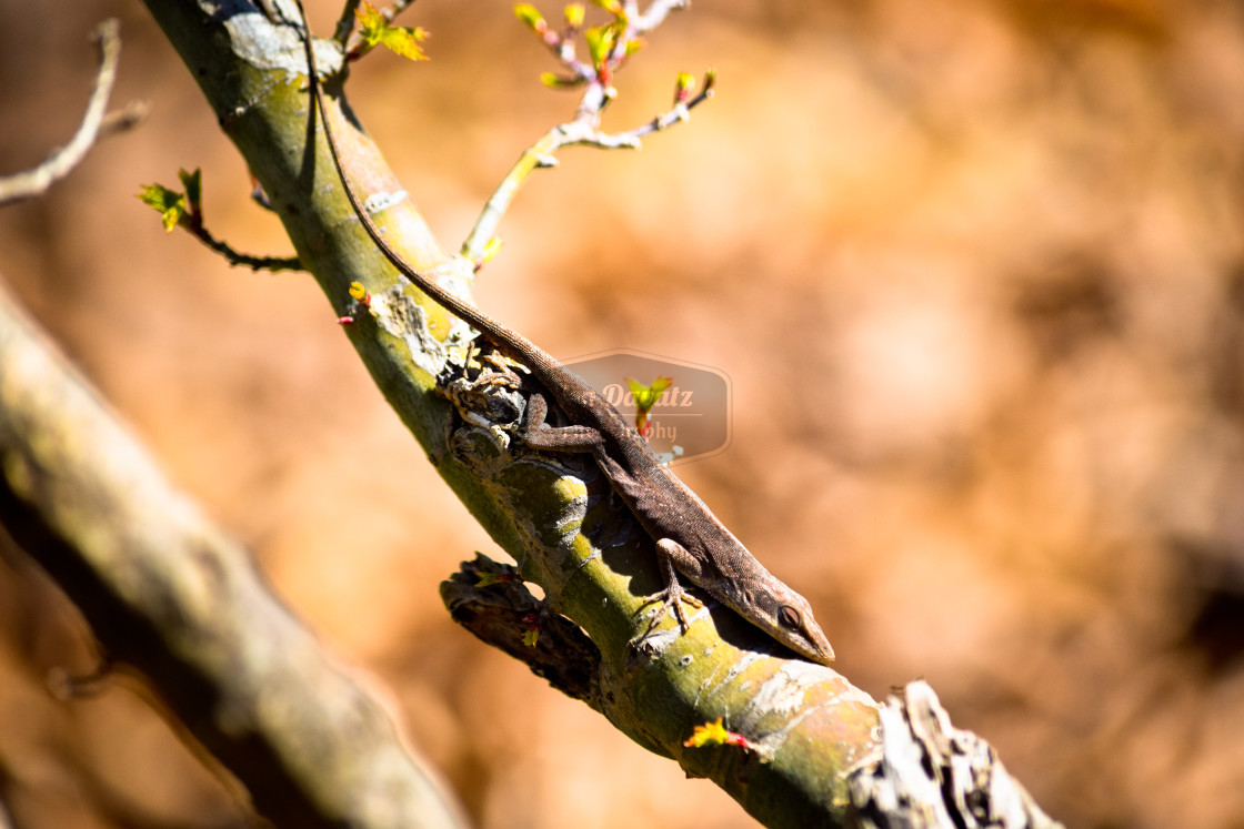 """A Lizard on a Tree Branch"" stock image"