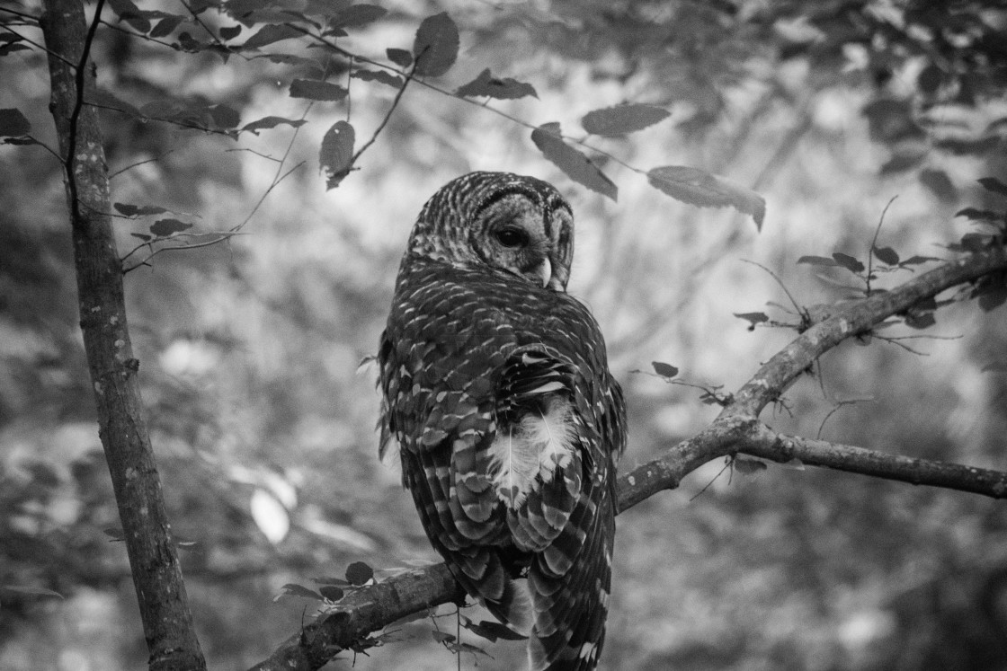 """Barred Owl B&W"" stock image"