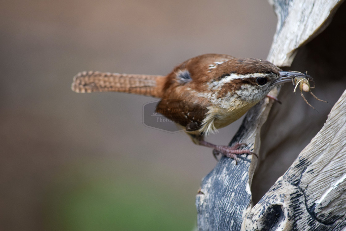 """Carolina Wren - with insect, perching"" stock image"