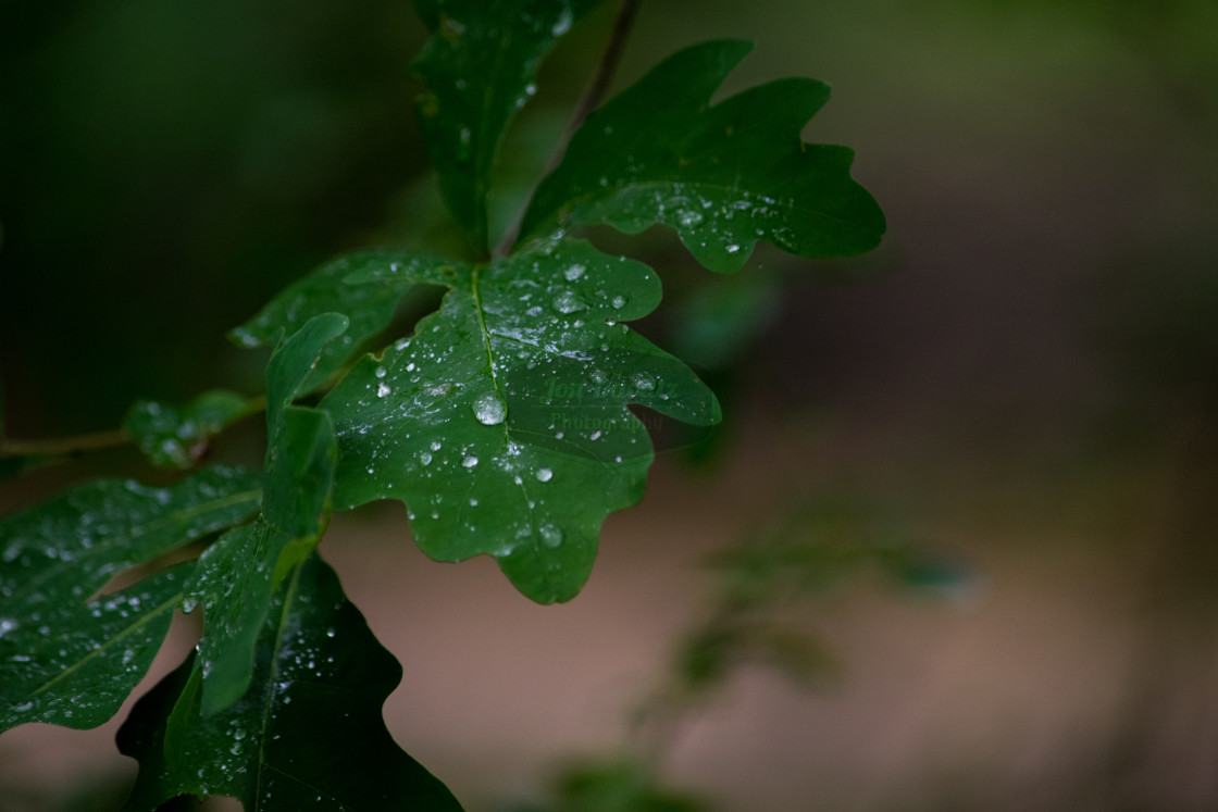 """""""Nature - a single oak leaf with water drops"""" stock image"""