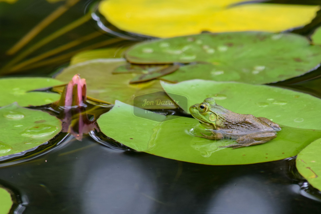 """""""A frog on a Lily pad"""" stock image"""