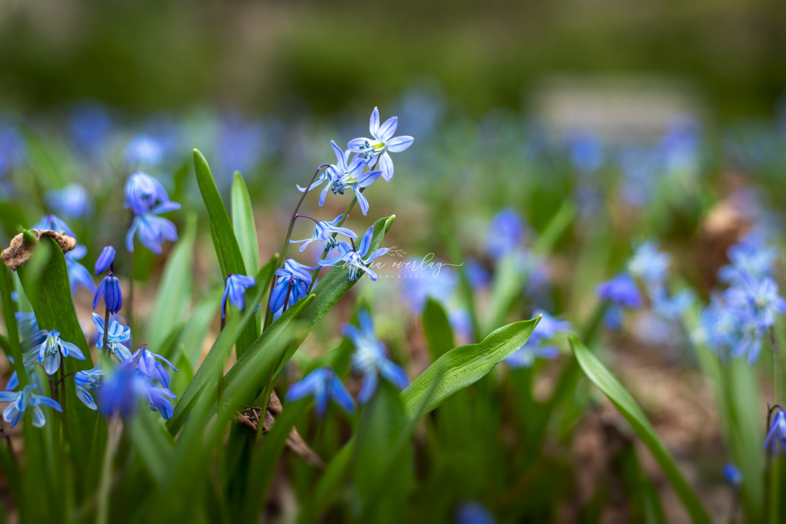 """""""Siberian Squill"""" stock image"""