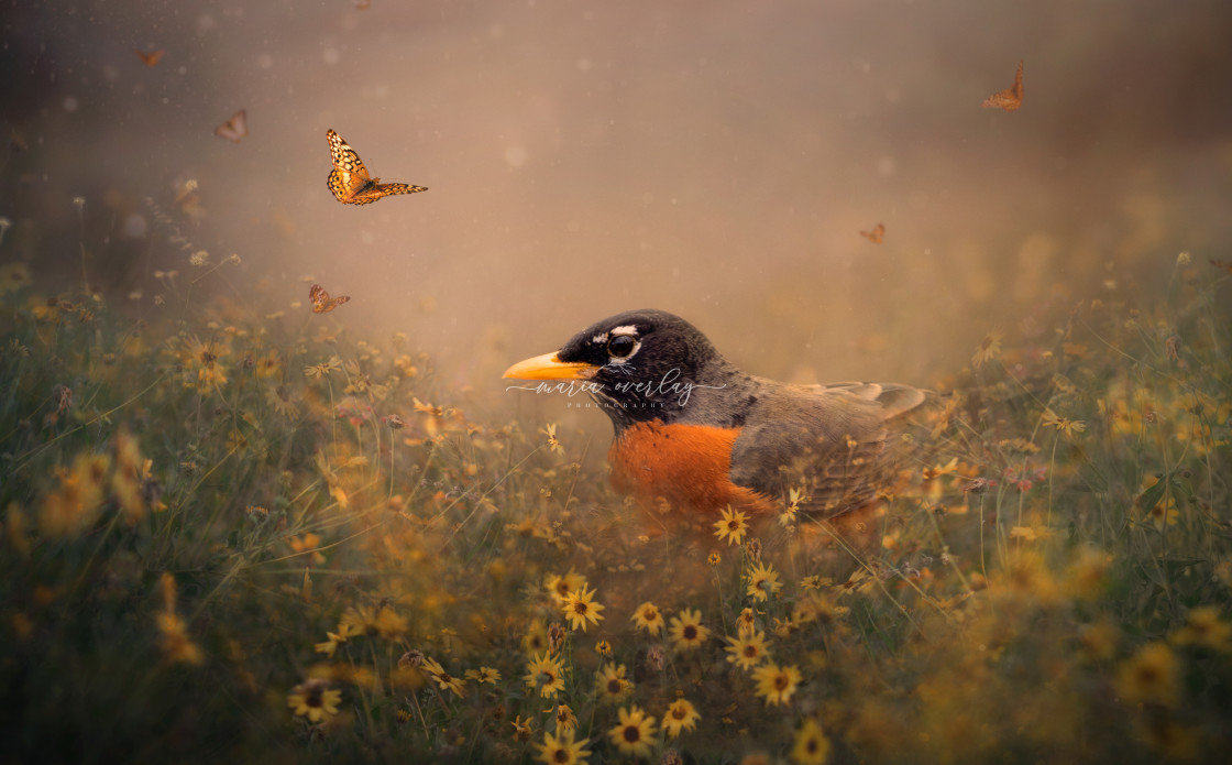 """""""Robin and Butterflies"""" stock image"""
