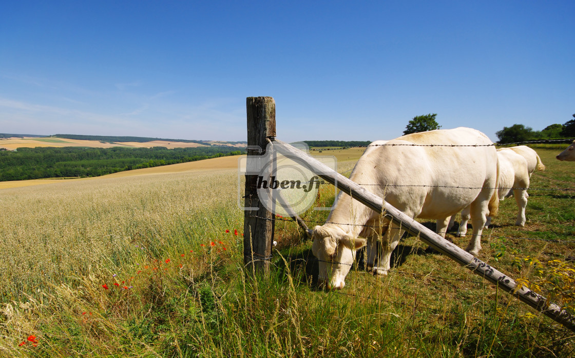 """""""Cattle farming"""" stock image"""